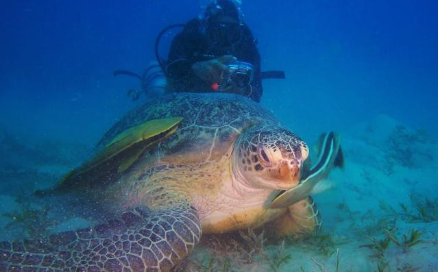 Зеленые черепахи. Абу Даббаб