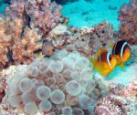 Красноморский амфиприон и мальки Трехпятнистого дасцилла/Red Sea anemonfish and Three-spot dascyllus